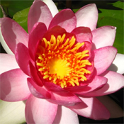 Water lily reproduction